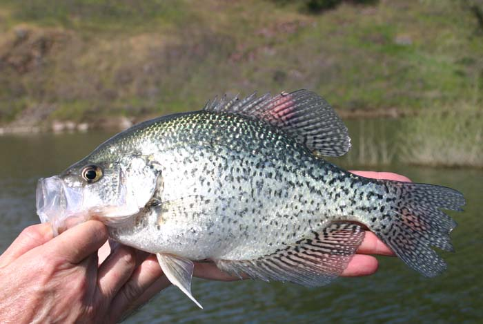 Crappie fishing techniques for Crappie fishing secrets