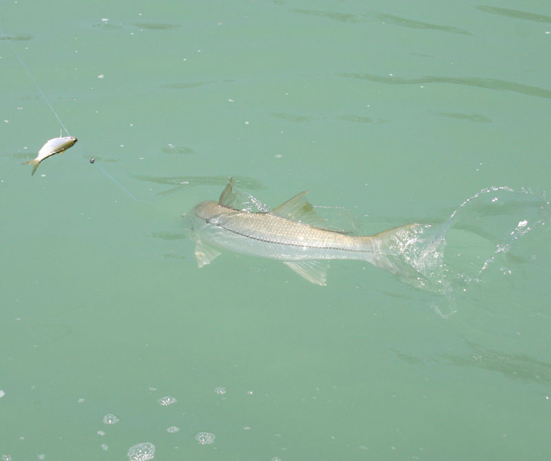 florida snook fishing florida snook fishing photo