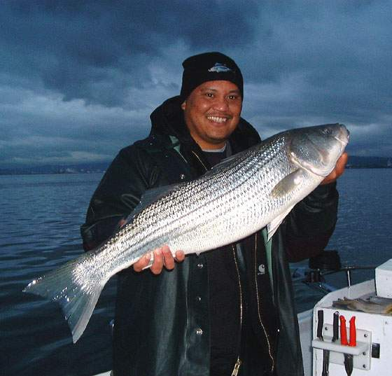Fishing for stripers striped bass fishing guides and for Fishing for striped bass