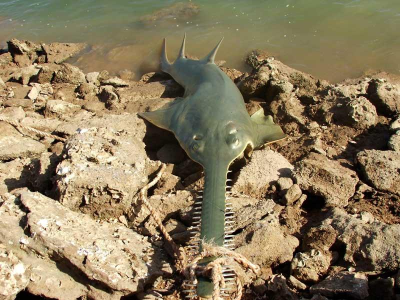 Port Hedland Sawfish - Giant Sawfish of Port Hedland in Western ...