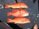 SPORTFISHWORLD FISHING PHOTO   AUSTRALIA   FISH SPECIES  Mixed Bag    Two Coral Trout (top and bottom) and a Red Emporer (centre). Photo submitted by Luke Groen.     SportfishWorld © 2003 Bob Fisher