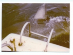 Australia|Western Australia|South West|Cheynes Beach, Albany|Great White Shark photographed near the Albany Whaling Station when it was still operational in 1972 - photo Bob Fisher SportfishWorld...Copyright SportfishWorld © Bob Fisher