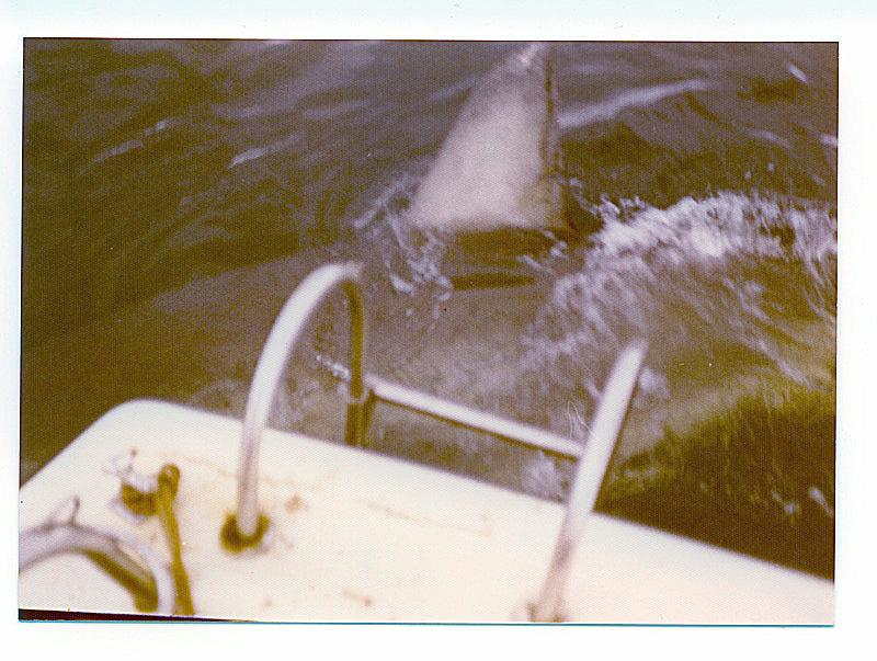 Great White Sharks of Albany, Fishing Photos, Great White Shark, Great White Shark photographed near the Albany Whaling Station when it was still operational in 1972 - photo Bob Fisher SportfishWorld
