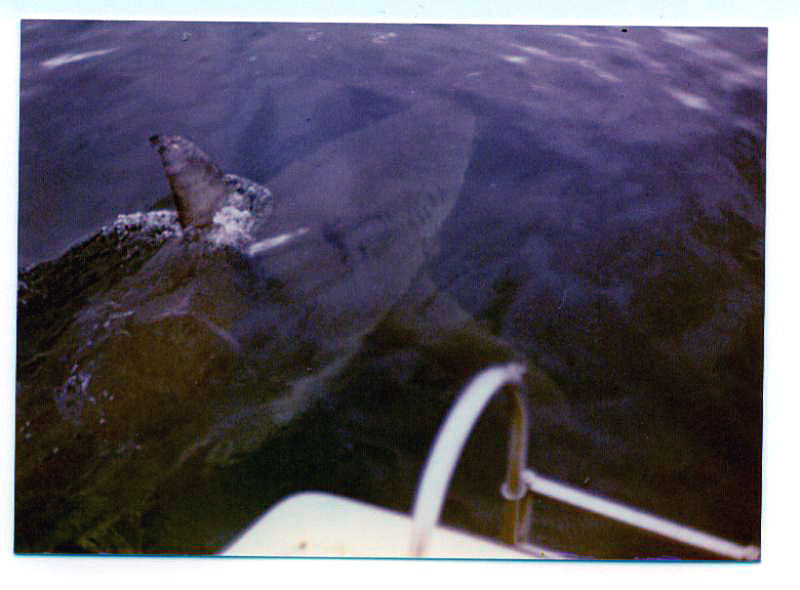 Shark, Great White - This Great White Shark estimated at 17 feet in length was photographed cruising past the back of our 23 foot boat. Photo was taken near the Albany Whaling Station in Western Australia when it was still operational in 1972 - photo by Bob Fisher SportfishWorld. -SportfishWorld &copy Copyright 2003 All rights reserved
