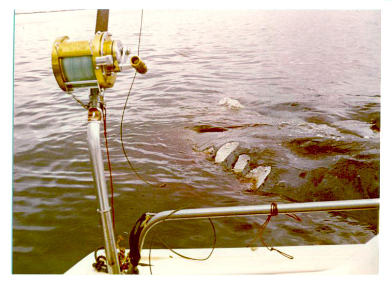 Great White Sharks of Albany, Fishing Photos, Great White Shark, A whale that is tethered to a bouy prior to processing has three huge bite marks taken out of it by a Great White Shark. Photographed near the Albany Whaling Station when it was still operational in 1972 - photo taken by Bob Fisher SportfishWorld.