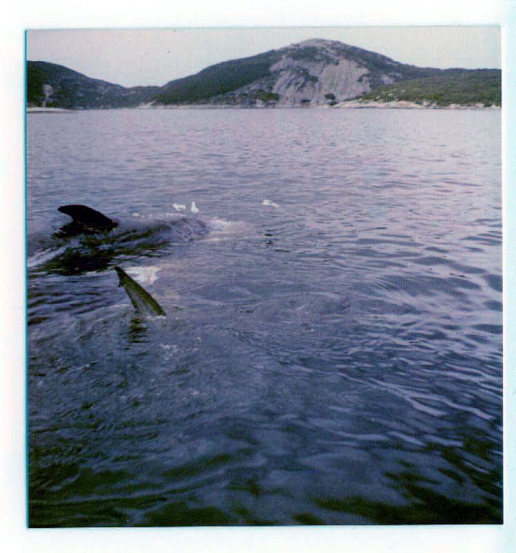 Shark, Great White - The tail fin of a Great White Shark can be seen near a tethered whale just offshore from the Albany Whaling Station when it was still operational in 1972 - photo by Bob Fisher SportfishWorld. -SportfishWorld &copy Copyright 2003 All rights reserved