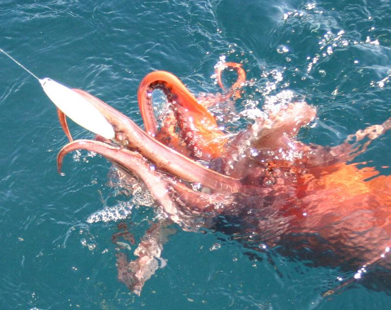 Squid, Giant Humboldt - Giant Humboldt Squid Trip February 2006 -SportfishWorld &copy Copyright 2003 All rights reserved