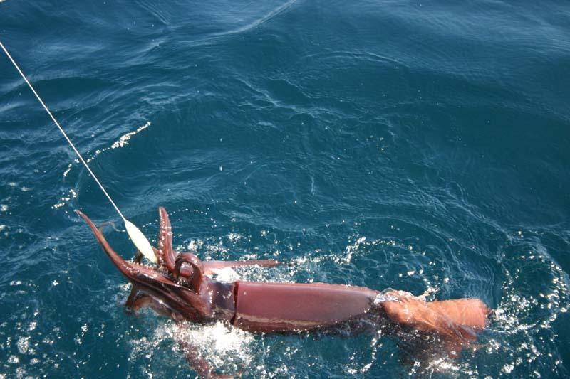 Fishing for Giant Humboldt Squid - Cordell Bank, Squid Fishing Photos, Giant Humboldt Squid, Giant Humboldt Squid Trip Bodega Bay 2006 - Bob Fisher.