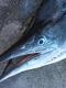 SPORTFISHWORLD FISHING PHOTO   MEXICO   FISH SPECIES  Striped Marlin    Striped Marlin at Cabo San Lucas    SportfishWorld © 2003 Bob Fisher
