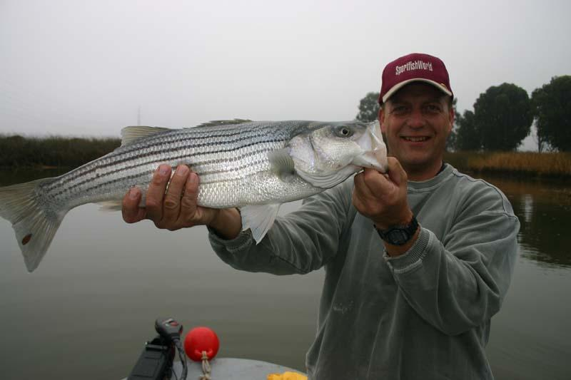 Striped Bass - Rich Pharo caught this nice Napa River Striper on a Rat-L-Trap. Bob Fisher SportFishWorld © Copyright Photo -SportfishWorld © Copyright 2003 All rights reserved
